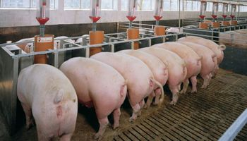 El sector porcino acordó una suba salarial para la actividad en criadero