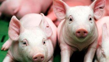 """Cerdos: """"Hay que importar lo que se necesite, no lo que sobra"""""""