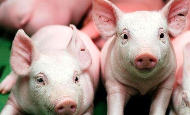 """""""Las nuevas reglas de este gobierno hicieron más fácil el ingreso carne porcina""""."""