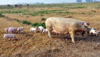 Porcinos: el secreto de un sector que gana terreno