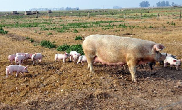 Casos exitosos se presentarán en el Congreso de Producción Porcina.