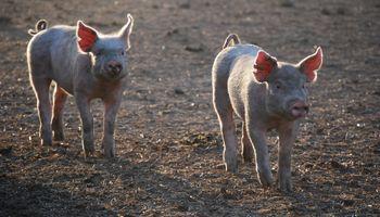 Cerdos: China invertiría 500 millones de dólares en Córdoba