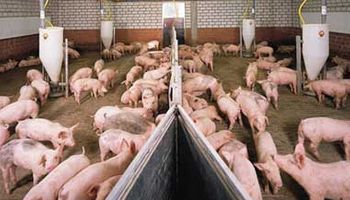 Brasil cierra puertas por fiebre porcina