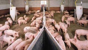 Buena exportación de porcinos en Chile