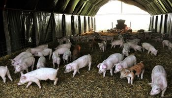 Porcinos, tecnologías que potencian la producción