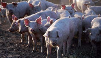La rentabilidad en la producción de cerdos cayó en comparación con enero del 2020