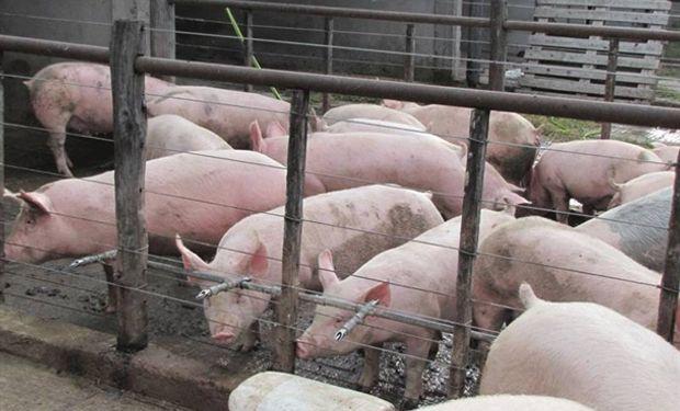 Porcinos, un sector que aún no llegó a su techo