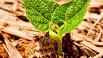 Poroto, un cultivo cada vez más importante para el norte argentino