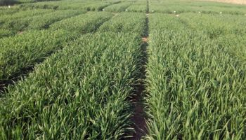 Poscosecha de girasol: ¿trigo de verano o barbecho largo?