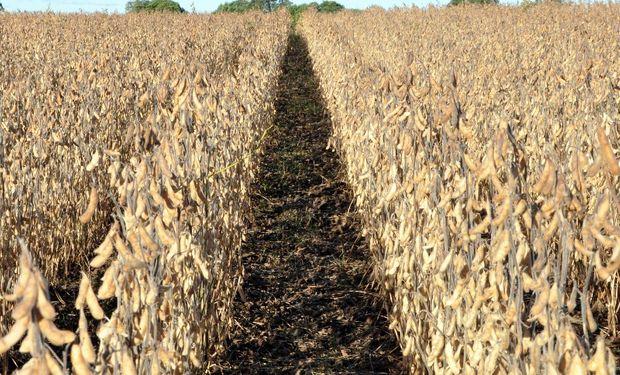 """El cultivo también fue afectado por """"déficit hídrico"""" en parte del territorio."""