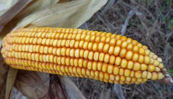 Precio del maíz, ¿conviene vender o esperar?