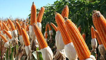 Precio superior para el maíz colorado argentino