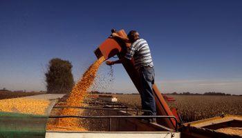 El maíz sigue concentrando la atención: subas en el mercado local pese a las bajas de Chicago