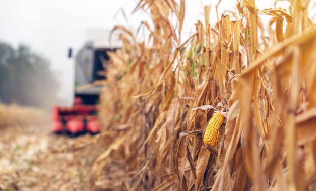 El precio del maíz acumuló esta semana una baja de US$ 5 en Rosario