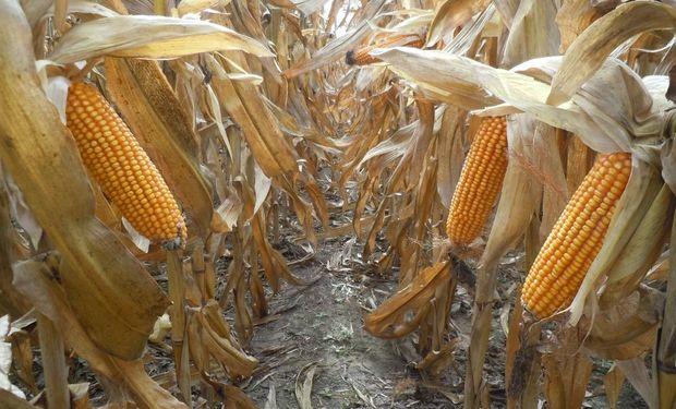 Oportunidades en el mercado de maíz: factores alcistas, bajistas y las dudas que impactan en el precio