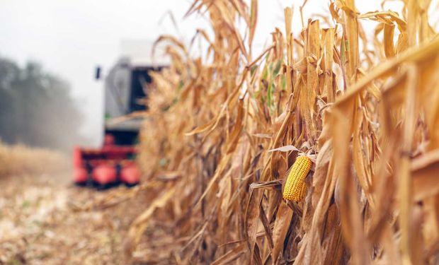 El maíz cayó a un mínimo de 3 años en Chicago: cuánto se pagó en Rosario