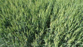Un 70% de la renta de una hectárea de trigo se va en impuestos: ¿Qué efecto tiene en las regiones?