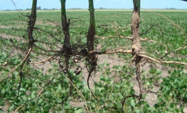El INTA desarrolló el primer fungicida biológico del país
