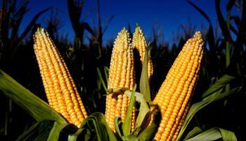 Primeras DJVE de maíz 2016/17