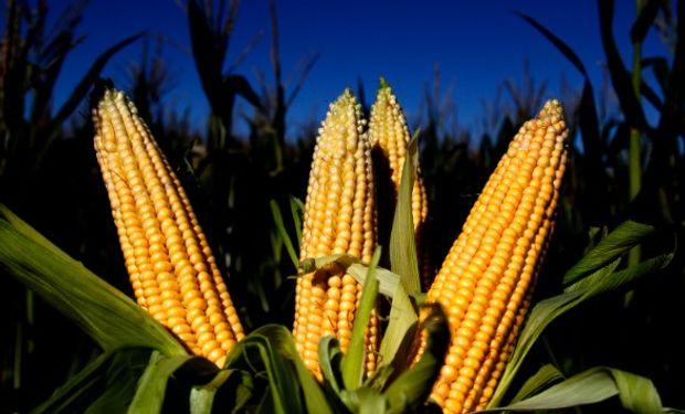 Primeras Declaraciones Juradas de Venta al Exterior de maíz nuevo.