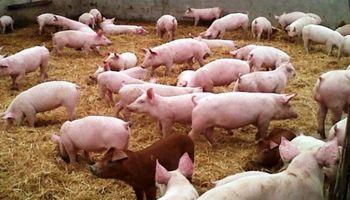 Más de un millón de pesos para mejorar la producción de cerdos
