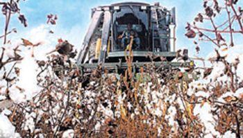 Crecería un 17% la producción de algodón