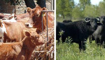 $ 110 millones para promover producción de carne bovina y de búfalos