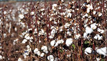 Algodón: su producción aumentará un 17%