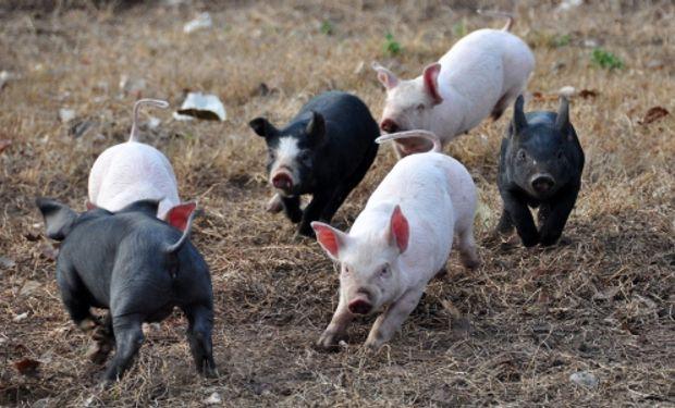 Con más del 70 % de los cerdos del país, la producción nacional se concentra en las provincias de Buenos Aires, Córdoba, Santa Fe y Entre Ríos.