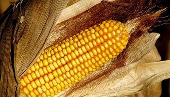 En el centro-norte de Santa Fe se cosecharon 485.425 toneladas de maíz