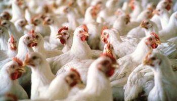 """Productores de pollos reclaman: """"trabajamos a pérdida total"""""""