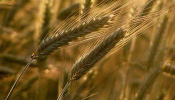 Producción de trigo en Brasil sería de 7,37 M Tn.