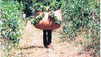 Producción de yerba llega a 96 M de kilos