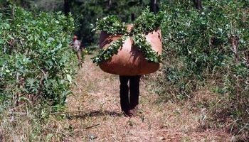 Cosecha de yerba argentina podría alcanzar este año un récord histórico