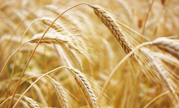 EE.UU. elevó pronóstico de producción global de trigo