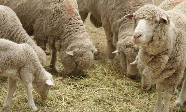 Incluye dentro de la categoría de pequeños y medianos productores a aquellos que cuenten con menos de 5000 cabezas de ganado ovino.