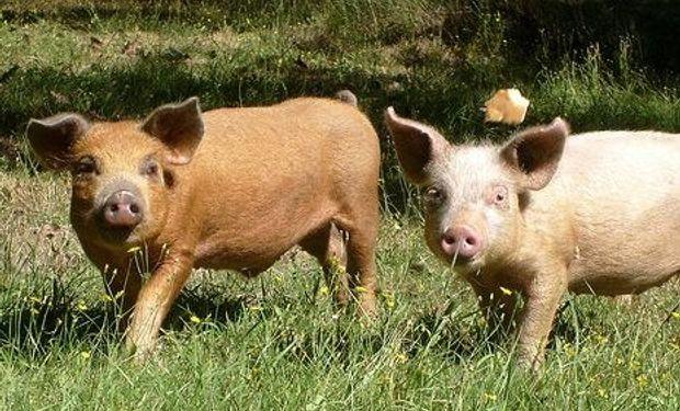 La faena porcina acumuló entre enero y abril de este año 1.805.934 cabezas.
