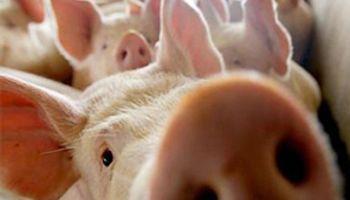 Productores de cerdo preocupados por posible eliminación de retenciones