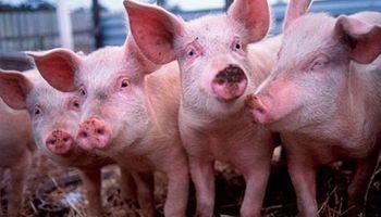 320 mil pesos para productores porcinos
