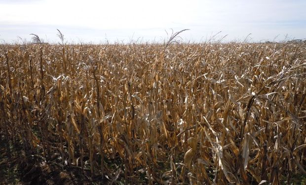 UE se encamina a una cosecha récord de maíz