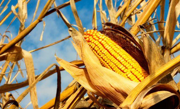 Por el tiempo seco, el maíz dejaría un rinde de 6,71 toneladas por hectárea en el bloque.