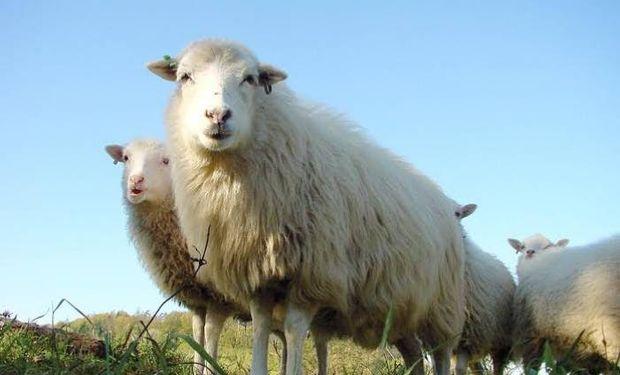 Productores ovinos afectados por sequía y cenizas fueron eximidos de pagar capital e intereses de créditos.