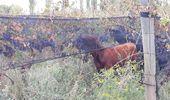 Harto de los bajos precios, un productor dejó que el ganado se coma la cosecha