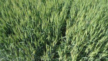 Productores de trigo en Uruguay están jugados a una buena primavera