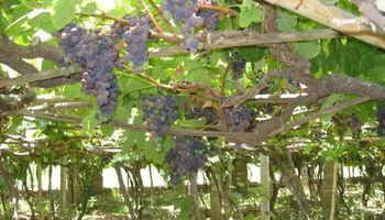 Productores de uva de San Juan cortaron rutas