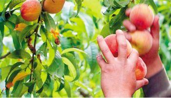 Productores frutícolas analizan demorar el inicio de la cosecha por los bajos precios