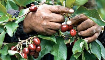 Peligra la cosecha de fruta fina de exportación: ofrecen trabajo y nadie lo quiere