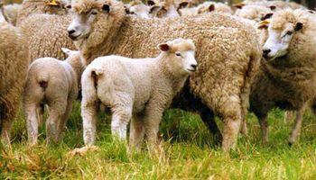 Fomento para productores de ovinos en Río Negro
