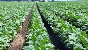 Productores tabacaleros reclaman la ayuda económica del Gobierno