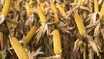 Tres nuevos cultivos biotecnológicos se incorporan al circuito comercial